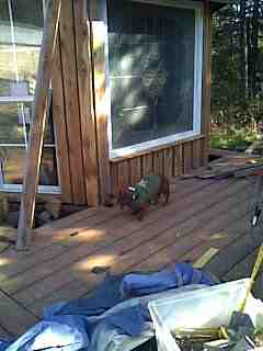 My dog helping me build my deck