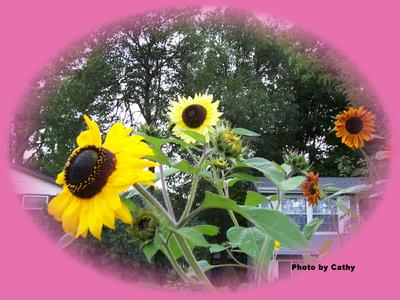 Variety of Sunflowers
